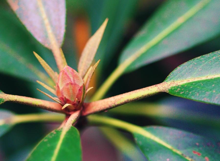 Rosebay Rhododendron Bud Photograph