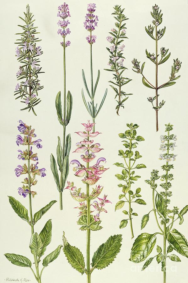 Lavender shower curtain - Rosemary And Other Herbs Painting By Elizabeth Rice