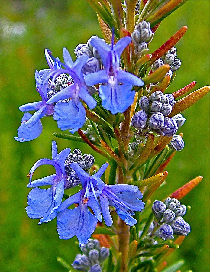 Rosemary In Skp Park Sierra Photograph  - Rosemary In Skp Park Sierra Fine Art Print