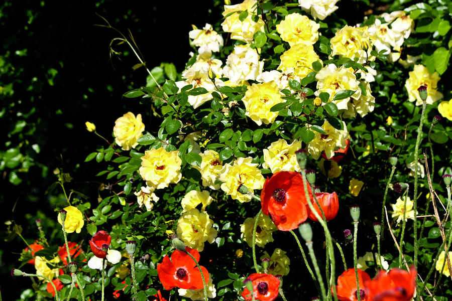 Roses And Poppies Photograph