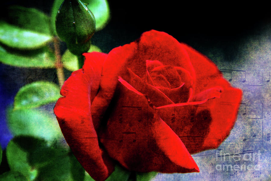 Roses Are Red My Love Photograph  - Roses Are Red My Love Fine Art Print