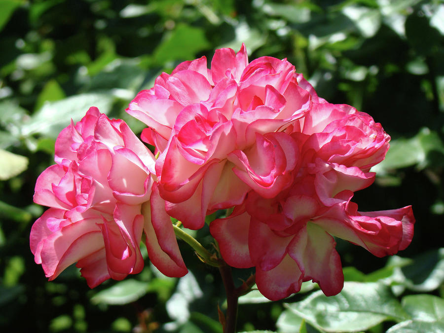 Roses Bouquet Pink White Rose Flowers 2 Rose Garden Baslee ...