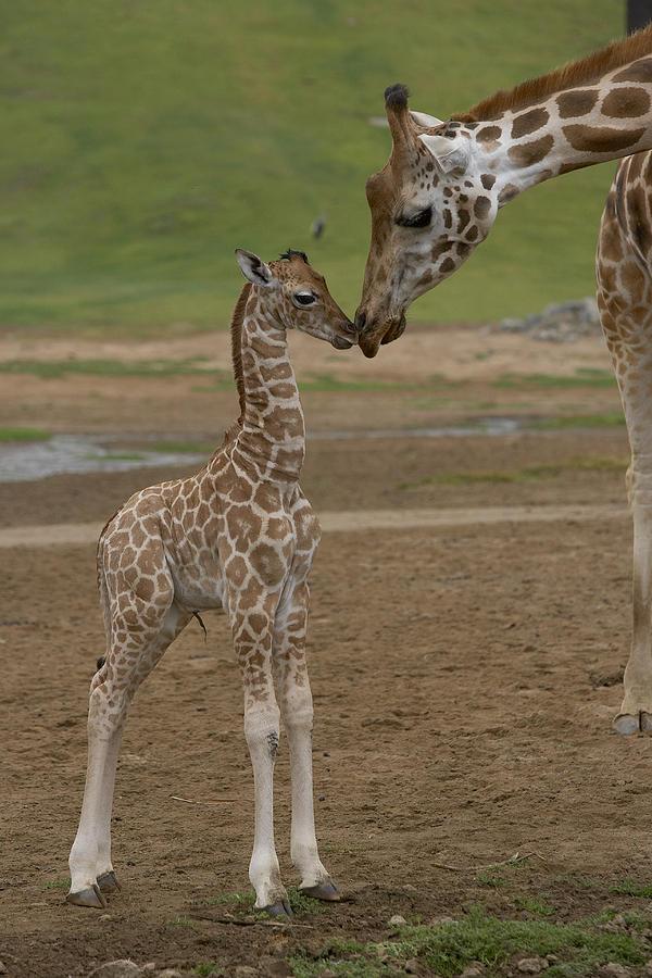 Rothschild Giraffe Giraffa Photograph