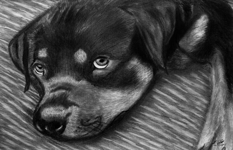 Rotty Drawing  - Rotty Fine Art Print