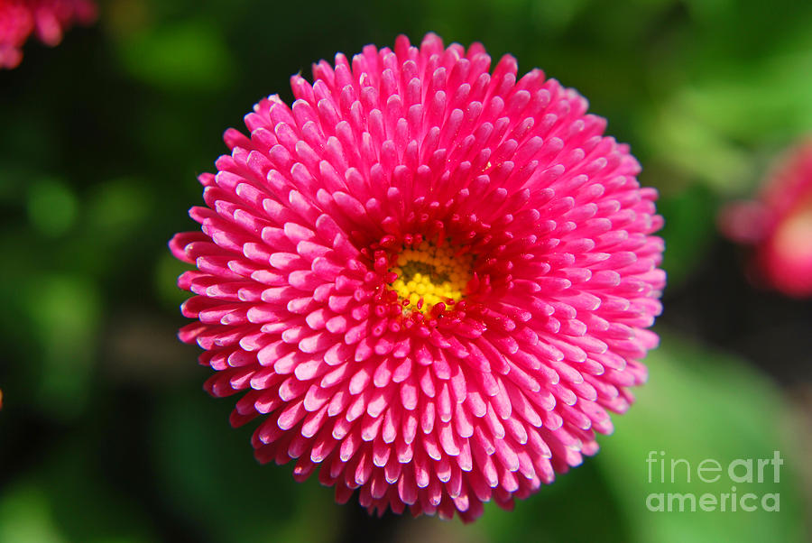 Round Pink Flower Photograph By Yhun Suarez