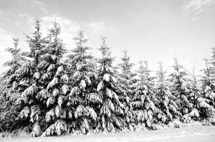 Row Of Evergreen Trees Are Laden With Snow Photograph