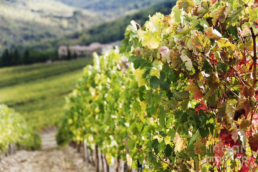 Agriculture Photograph - Row Of Grapevines In Vineyard by Jeremy Woodhouse