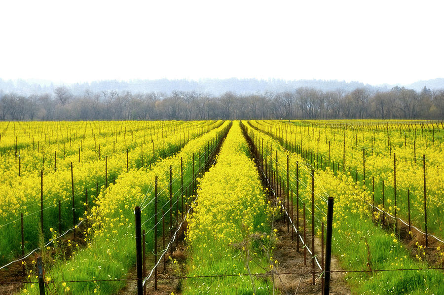 Rows Of Wild Mustard Photograph