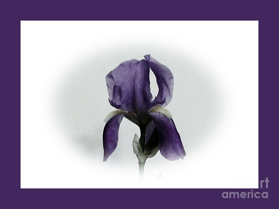 Royal Iris Photograph  - Royal Iris Fine Art Print