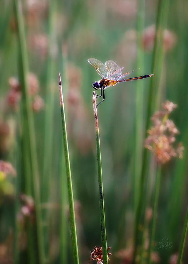 Ruby Meadowhawk Photograph  - Ruby Meadowhawk Fine Art Print