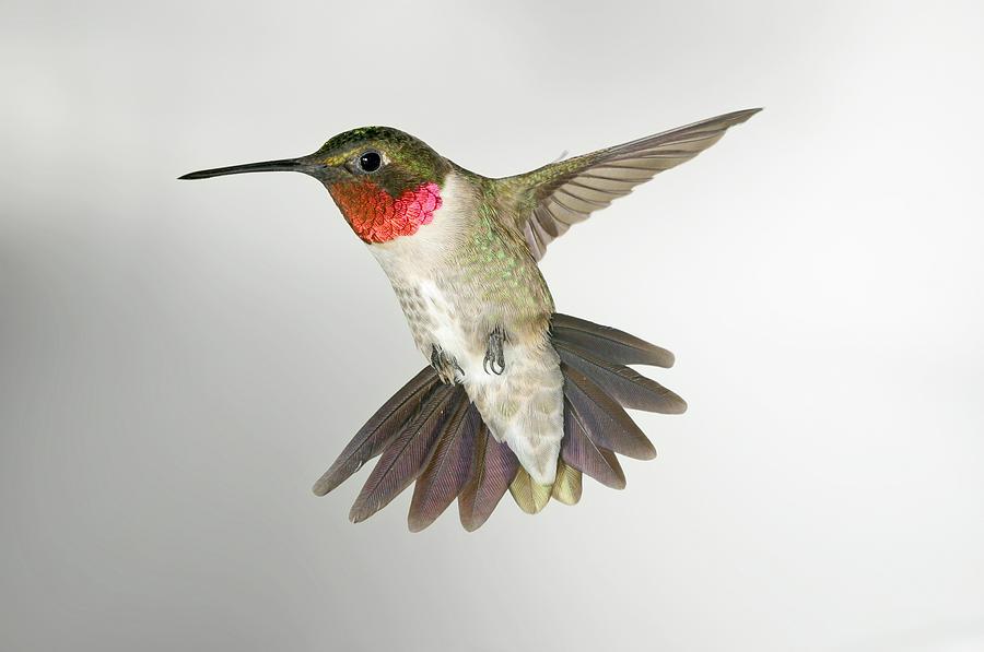 Ruby Throat Hummingbird Photograph