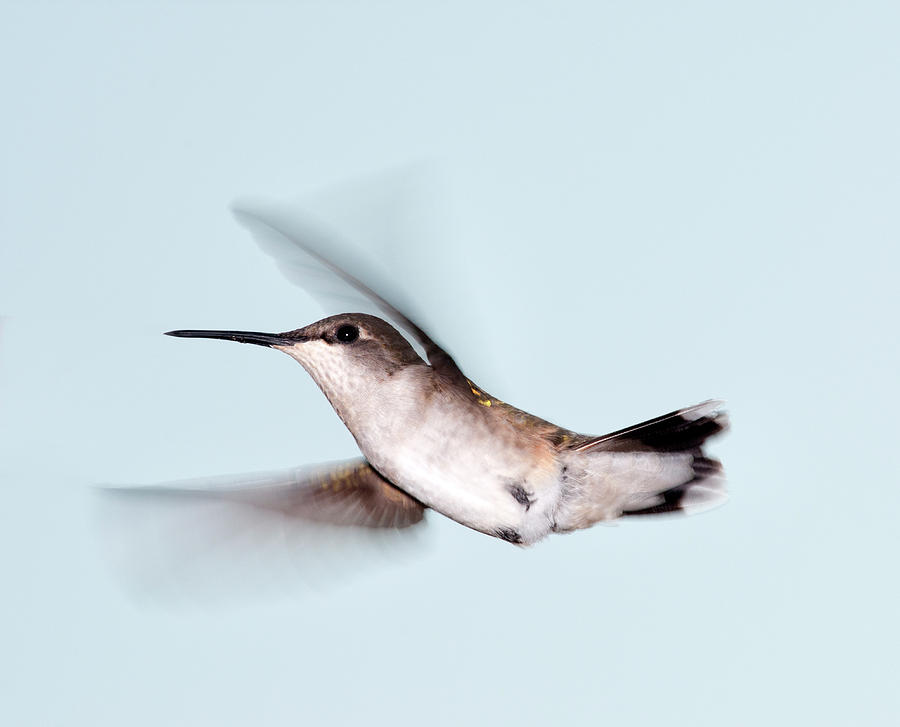 Ruby-throated Hummingbird In Flight Photograph