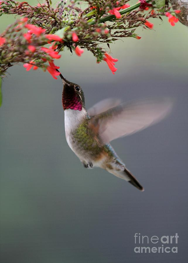 Ruby Throated Hummingbird Photograph  - Ruby Throated Hummingbird Fine Art Print