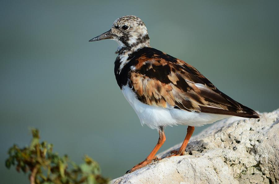 Ruddy Turnstone Photograph  - Ruddy Turnstone Fine Art Print