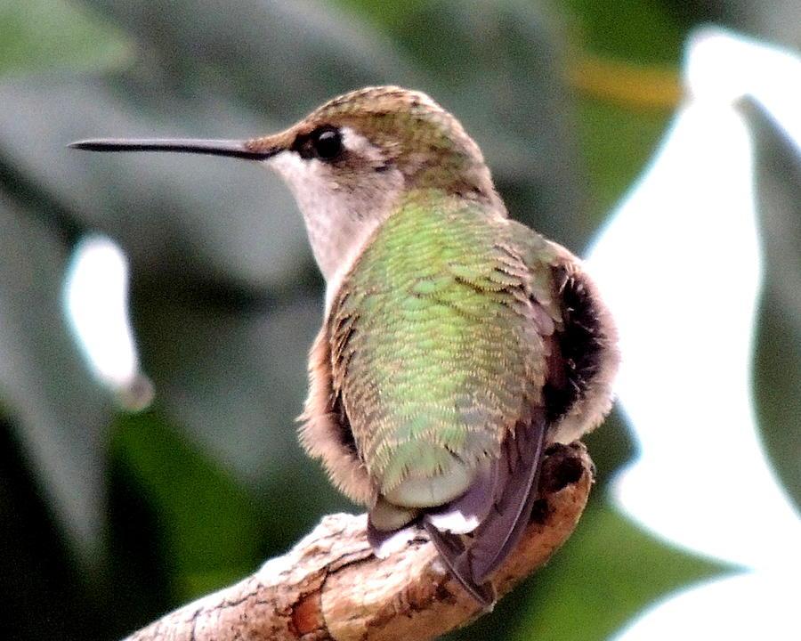 Rufous Hummingbird Photograph
