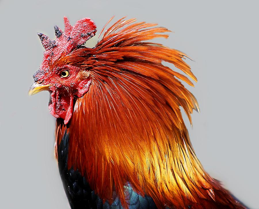 Rooster Photograph - Ruler Of His Roost by Paulette Thomas