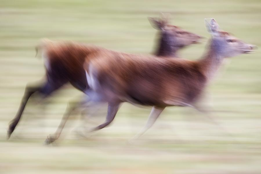 Running Deer Photograph  - Running Deer Fine Art Print