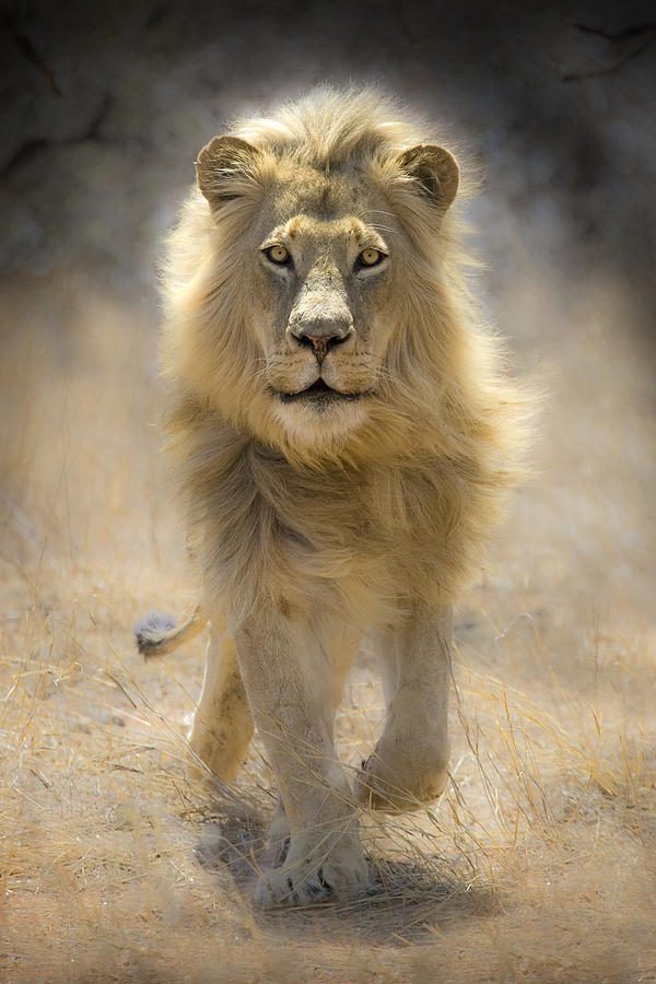 Running Lion Photograph  - Running Lion Fine Art Print