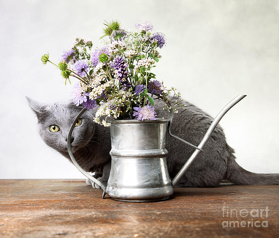Cat Photograph - Russian Blue 03 by Nailia Schwarz