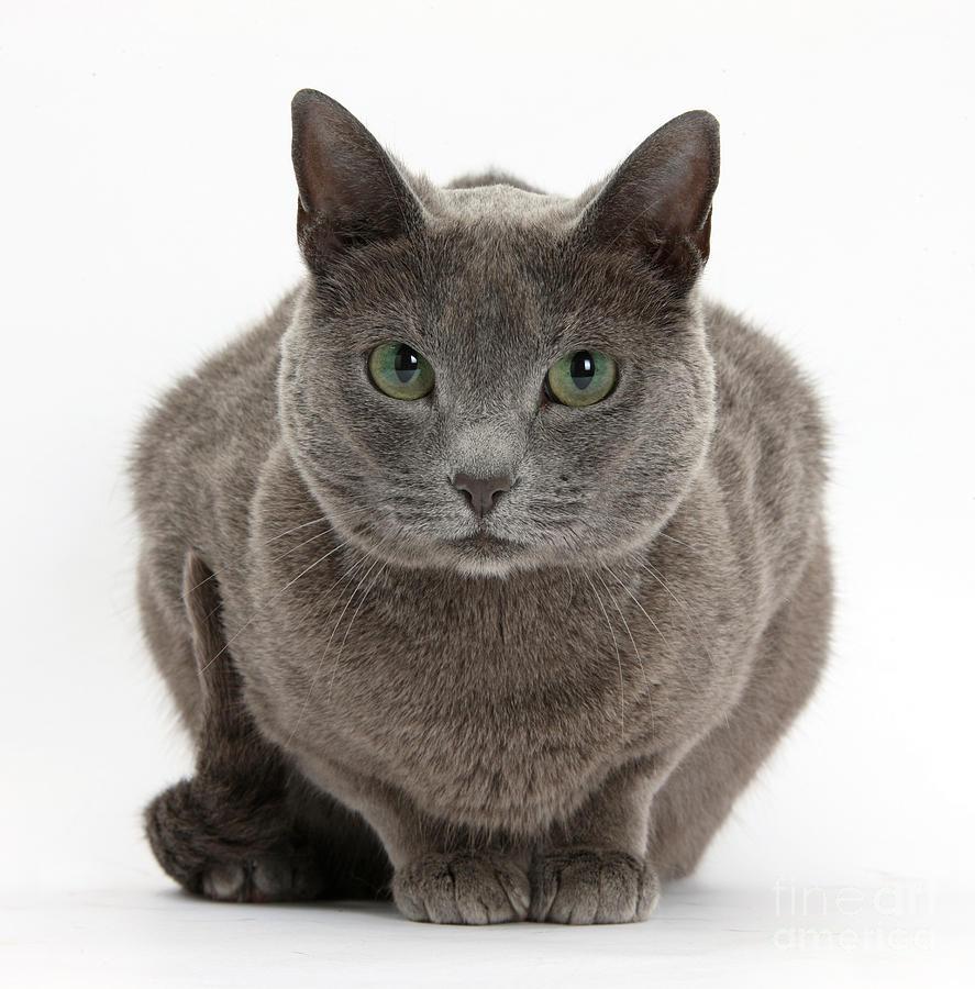 Russian Blue Cat Photograph