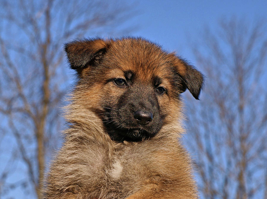 Sable German Shepherd Puppy II Photograph  - Sable German Shepherd Puppy II Fine Art Print