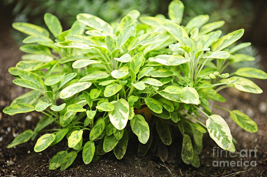 Sage Plant Photograph