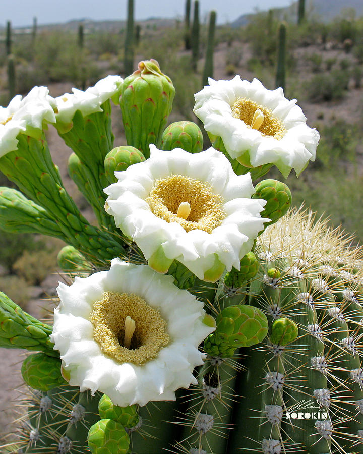 Saguaro Cactus Flowers By Allan Sorokin