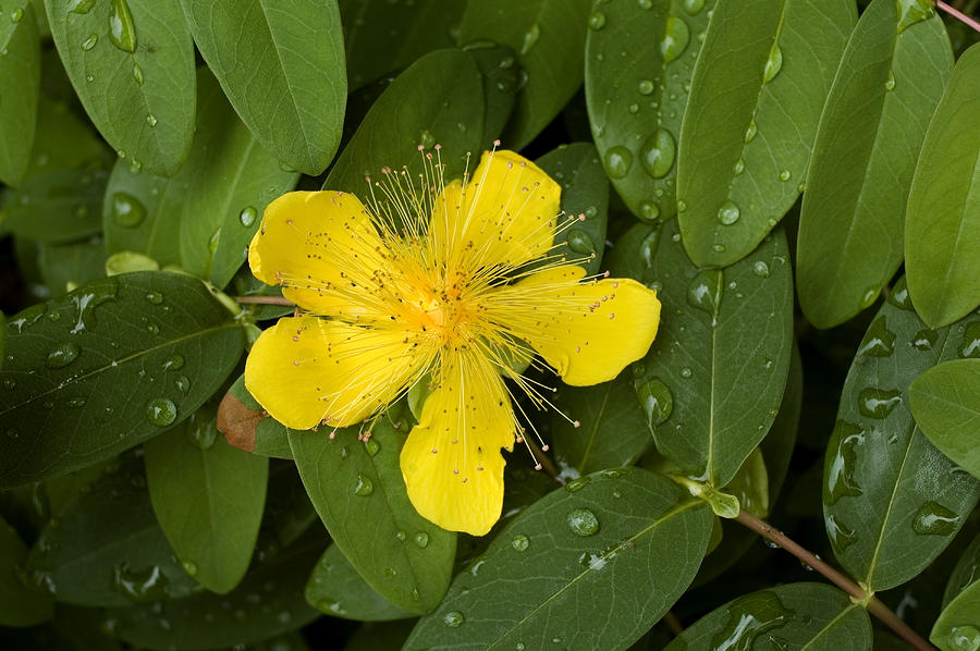 Saint Johns Wort Flower And Foliage Photograph