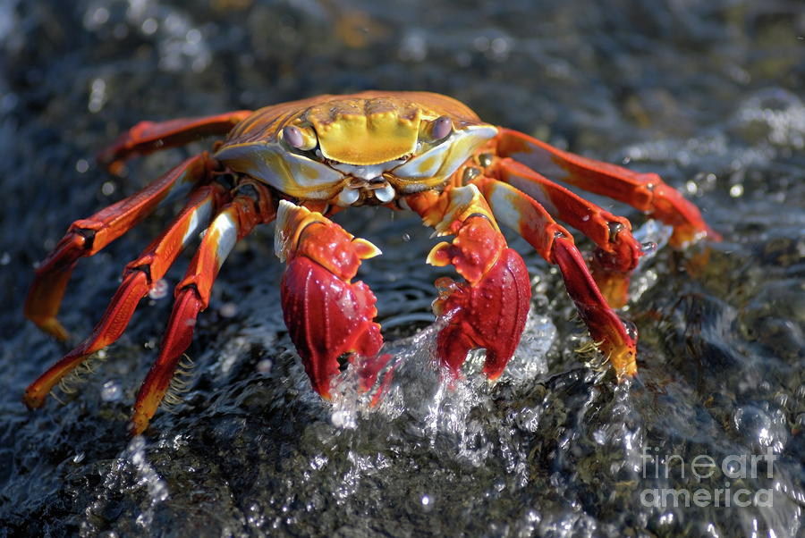 Sally Lightfoot Crab In Water Photograph