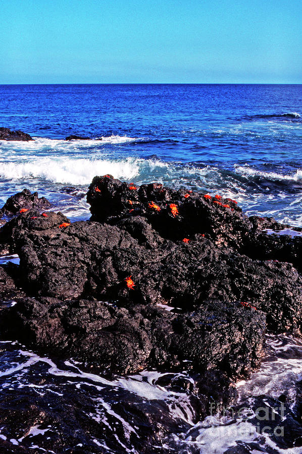 Sally Lightfoot Crabs On Basalt Photograph  - Sally Lightfoot Crabs On Basalt Fine Art Print