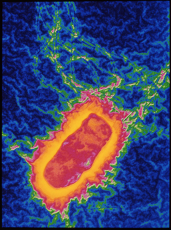 Salmonella Bacteria by Pasieka