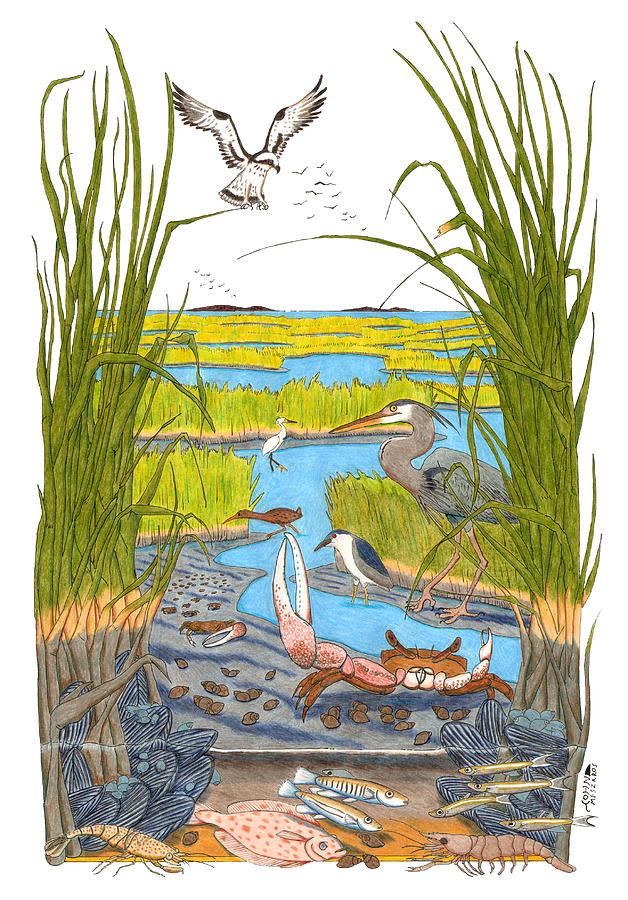 Salt Marsh Drawing