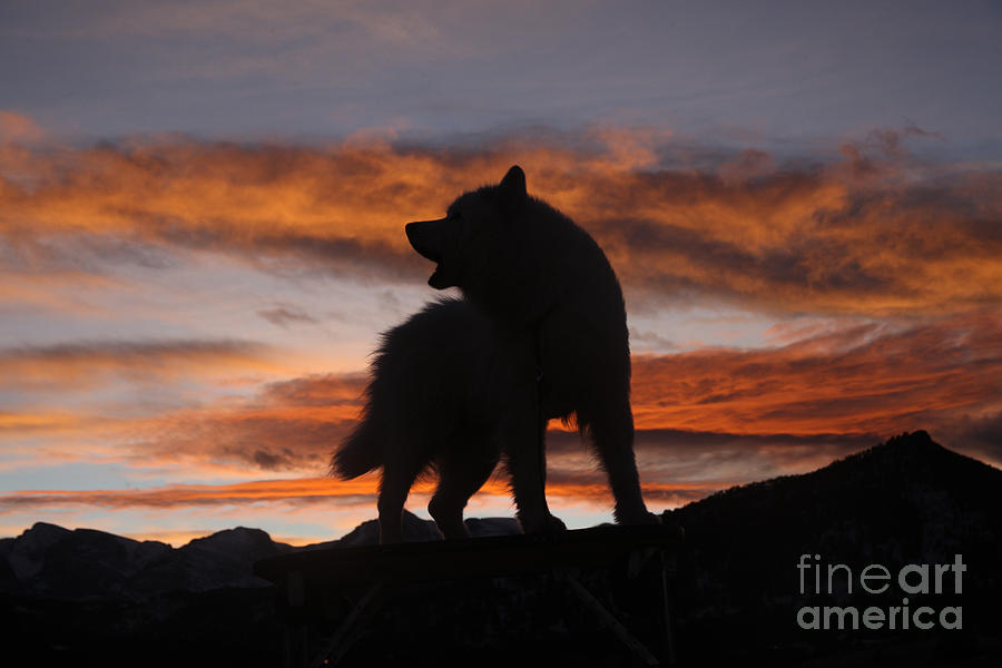 Samoyed At Sunset Photograph  - Samoyed At Sunset Fine Art Print