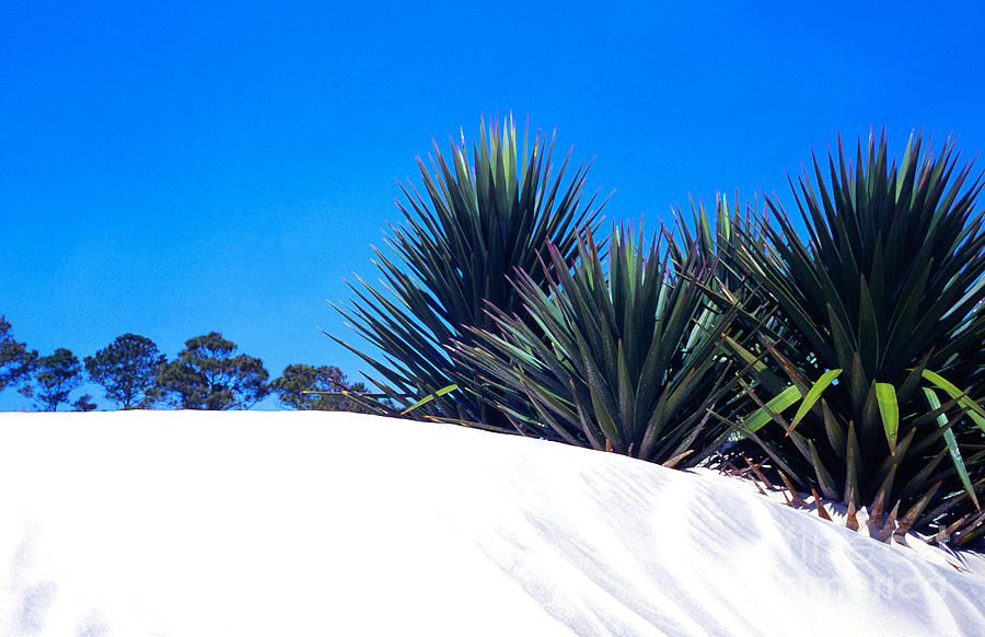 Sand Dune And Spanish Bayonet Photograph