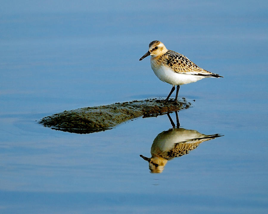Sanderling Reflecting Photograph  - Sanderling Reflecting Fine Art Print