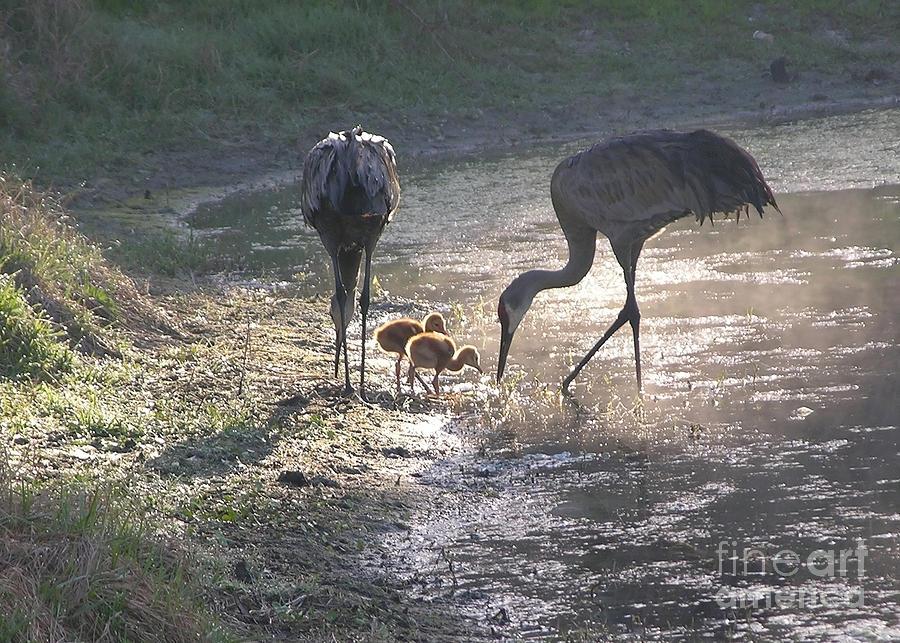 Sandhill Crane Family In Morning Sunshine Photograph