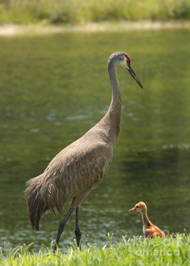 Sandhill Crane With Baby Chick Photograph
