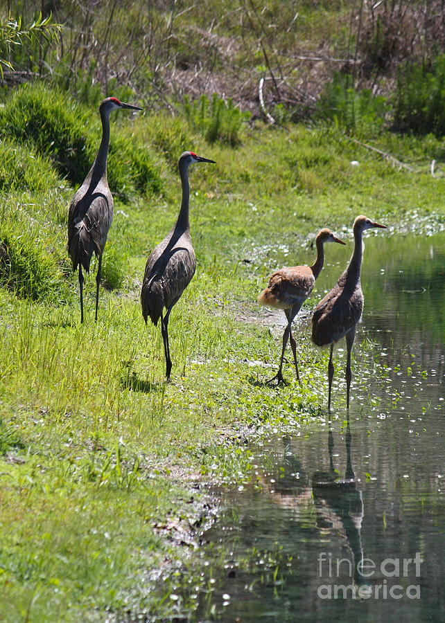 Sandhill Family By The Pond Photograph  - Sandhill Family By The Pond Fine Art Print
