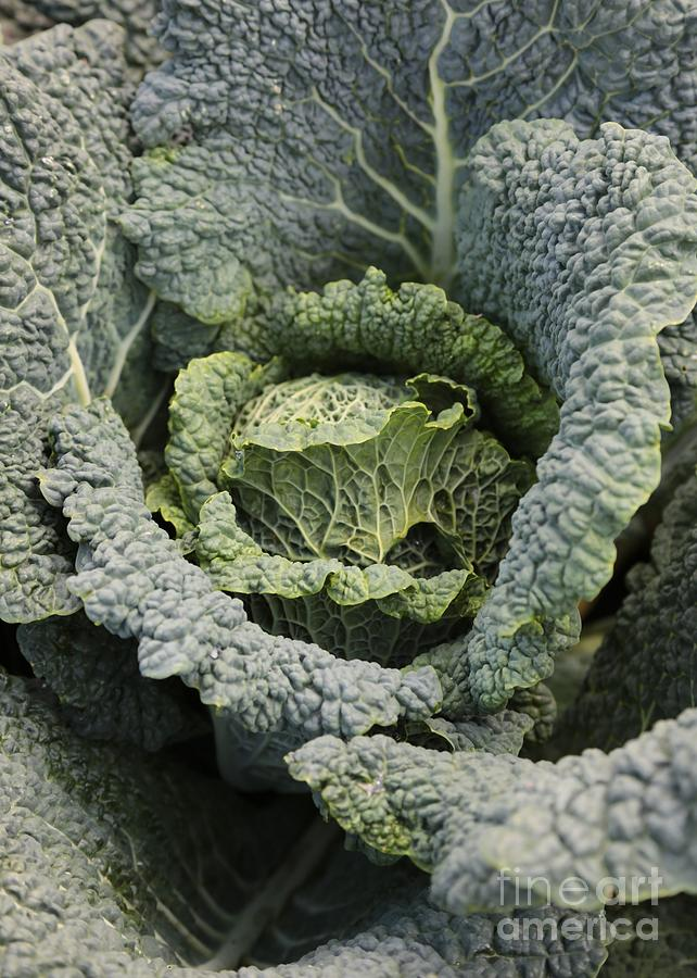 Savoy Cabbage In The Vegetable Garden Photograph  - Savoy Cabbage In The Vegetable Garden Fine Art Print