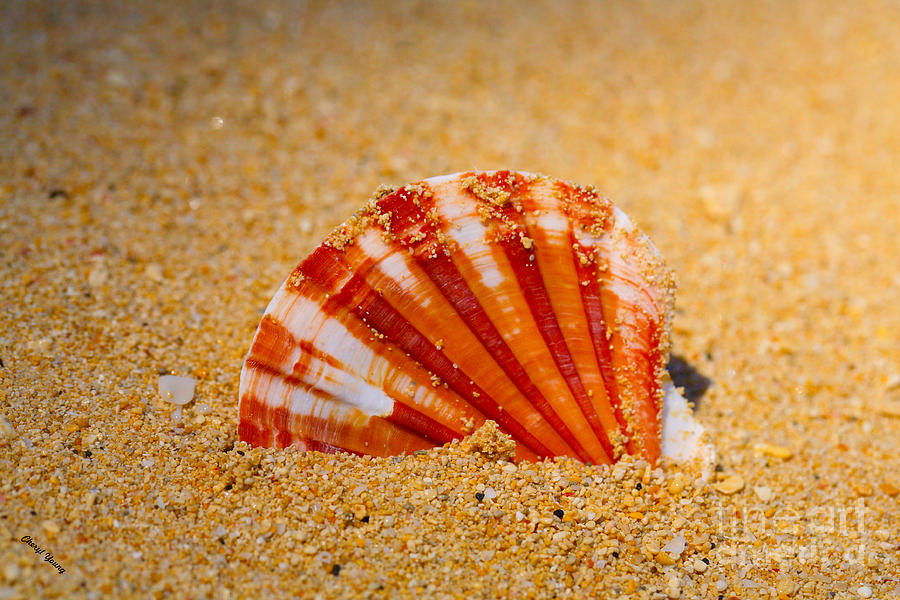 Scallop Shell Photograph  - Scallop Shell Fine Art Print