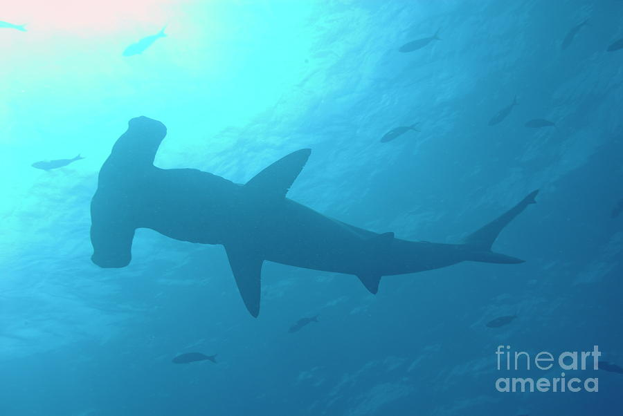 Scalloped Hammerhead Shark Photograph  - Scalloped Hammerhead Shark Fine Art Print