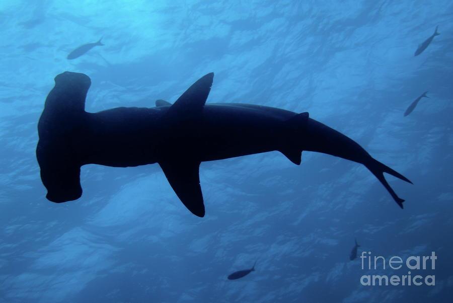 Scalloped Hammerhead Shark Underwater View Photograph