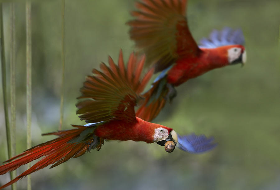 Scarlet Macaw Pair Flying With Palm Photograph by Tim ...