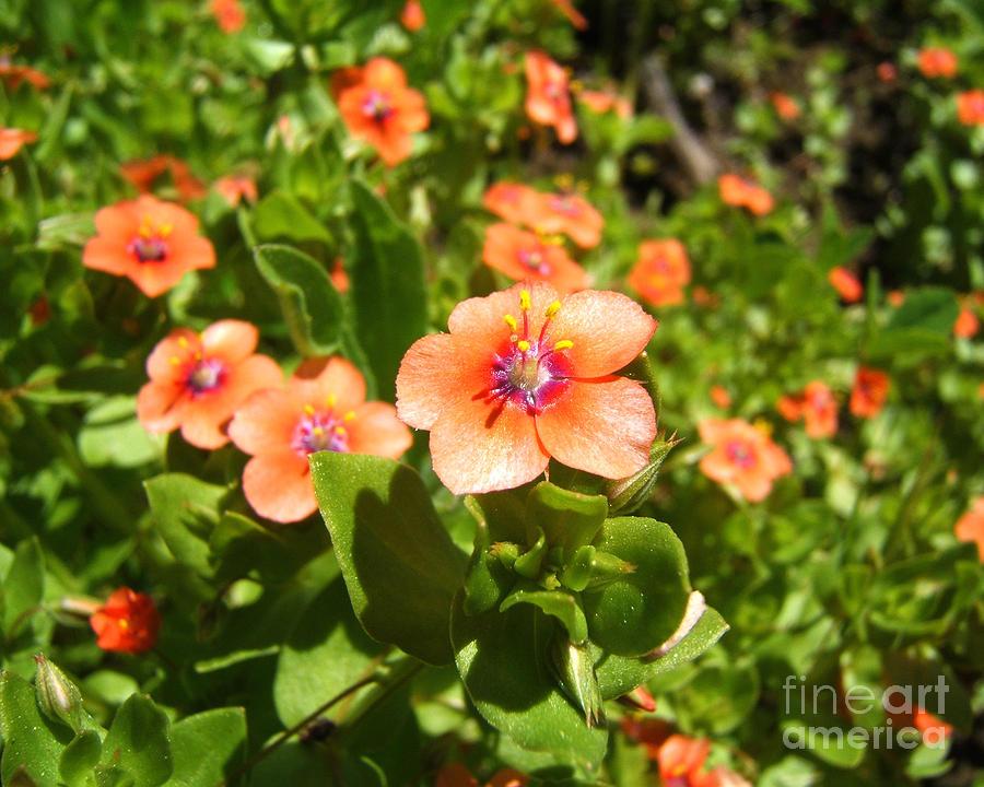 Scarlet Pimpernel Flower Photograph by Kristen Fox