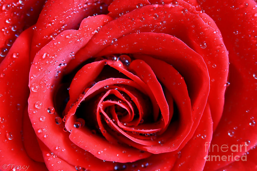 Scarlet Red Rose Photograph