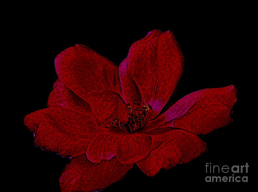 Scarlet Rose Photograph  - Scarlet Rose Fine Art Print
