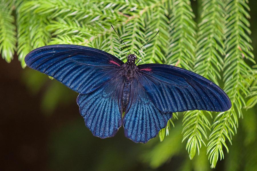 Butterfly Photograph - Scarlet Swallowtail by Joann Vitali