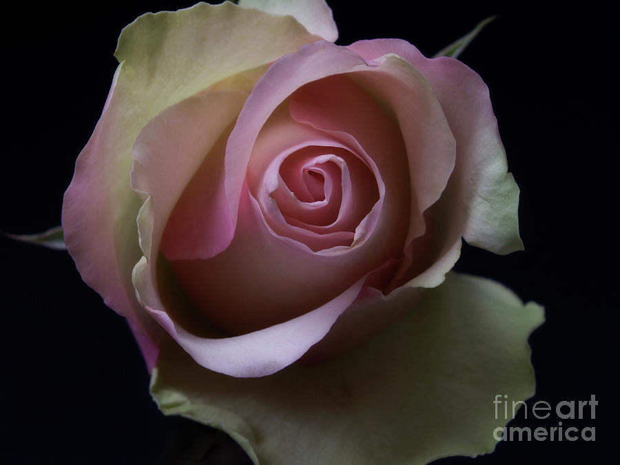 Scent Of A Rose Photograph  - Scent Of A Rose Fine Art Print