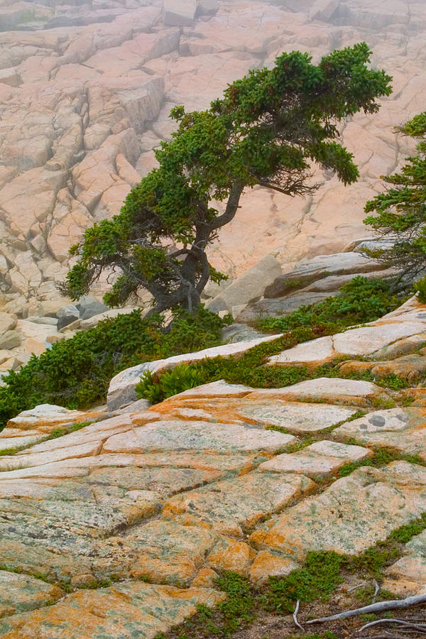 Pitch Pine Photograph - Schoodic Cliffs by Brent L Ander