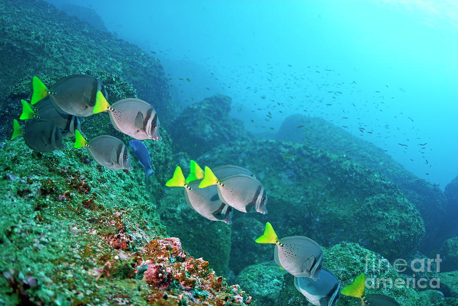 School Of Razor Surgeonfish On Rocky Seabed Photograph  - School Of Razor Surgeonfish On Rocky Seabed Fine Art Print